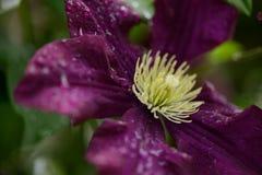 Flor de la clemátide Imagen de archivo libre de regalías