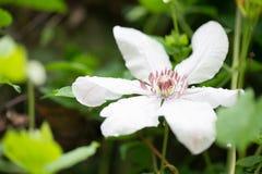 Flor de la clemátide Foto de archivo