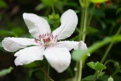 Flor de la clemátide Imagen de archivo