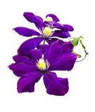 Flor de la clemátide aislada en un blanco Imagen de archivo