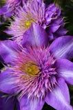 Flor de la clemátide púrpura Imágenes de archivo libres de regalías