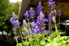 Flor de la clemátide púrpura Fotos de archivo