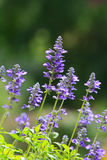 Flor de la clemátide púrpura Imagenes de archivo