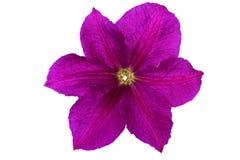 Flor de la clemátide púrpura aislada en blanco Foto de archivo