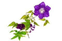 Flor de la clemátide púrpura aislada en el fondo blanco Fotografía de archivo