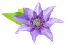 Flor de la clemátide púrpura con las hojas Foto de archivo
