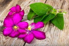 Flor de la clemátide púrpura en fondo rústico de madera Imagen de archivo libre de regalías