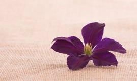 Flor de la clemátide púrpura en fondo simple de la arpillera Foto de archivo libre de regalías
