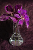 Flor de la clemátide púrpura en un fondo oscuro Imagen de archivo libre de regalías