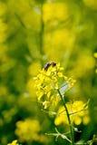 Flor de la colza con la abeja Imagen de archivo libre de regalías