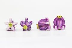 Flor de la corona foto de archivo