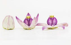Flor de la corona fotos de archivo libres de regalías