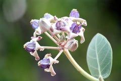 Flor de la corona Foto de archivo libre de regalías