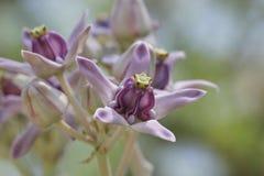 Flor de la corona Imagen de archivo