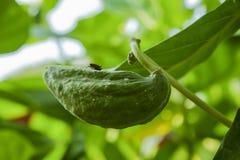 Flor de la corona de la semilla Foto de archivo libre de regalías