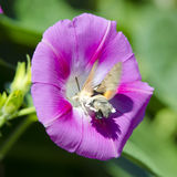 Flor de la correhuela Fotos de archivo libres de regalías