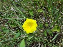 Flor de la correhuela amarilla Foto de archivo libre de regalías
