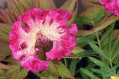 Flor de la cresta de gallo Imagen de archivo libre de regalías