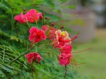Flor de la cresta del pavo real Imágenes de archivo libres de regalías