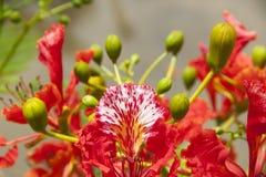 Flor de la cresta del pavo real Foto de archivo