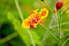 Flor de la cresta del pavo real Fotos de archivo libres de regalías