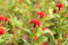 Flor de la cresta de gallo o flor china de las lanas fotos de archivo