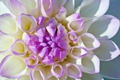 Flor de la dalia Foto de archivo libre de regalías
