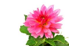 Flor de la dalia Fotografía de archivo libre de regalías
