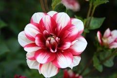 Flor de la dalia del palillo de la hierbabuena Fotos de archivo