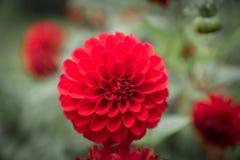Flor de la dalia en color rojo Imagen de archivo libre de regalías