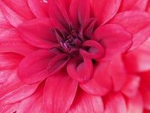 Flor de la dalia en el cierre para arriba Fotos de archivo