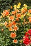 Flor de la dalia en jardín Imagen de archivo