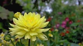 Flor de la dalia en la luz de la mañana en jardín verde Imágenes de archivo libres de regalías