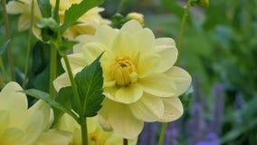 Flor de la dalia en la luz de la mañana en jardín verde Fotos de archivo libres de regalías