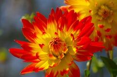 Flor de la dalia en rojo y amarillo Imagenes de archivo