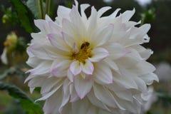 Flor de la dalia La abeja se sienta en una flor Imagen de archivo