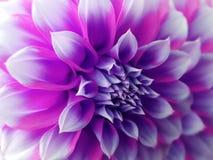 Flor de la dalia, púrpura-azul-rosada primer Dalia hermosa la flor de la vista lateral, el fondo lejano se empaña, para el diseño Imagen de archivo