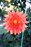 Flor de la flor de la dalia imagenes de archivo