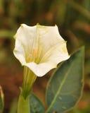 Flor de la datura Imágenes de archivo libres de regalías