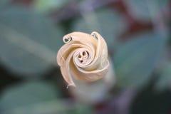 Flor de la datura Foto de archivo libre de regalías