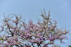 Flor de la flor en su árbol en primavera Foto de archivo