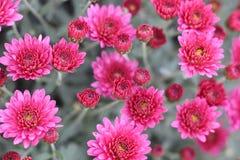 Flor de la esquina rosada en el jardín del estruma cercano complejo y de Kozhuh de Rupite fotografía de archivo libre de regalías