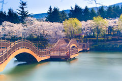 Estación de la flor de cerezo en Corea Fotografía de archivo libre de regalías