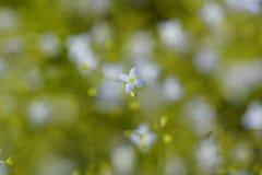 Flor de la estrella Fotos de archivo
