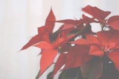 Flor de la estrella de la Navidad Fotografía de archivo libre de regalías