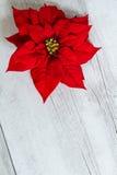 Flor de la estrella de la Navidad Foto de archivo libre de regalías