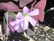 Flor de la estrella de la lavanda imagen de archivo