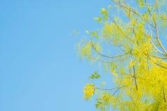 Flor de la fístula de oro de la ducha o de la casia en el cielo azul en Thailan Imagenes de archivo