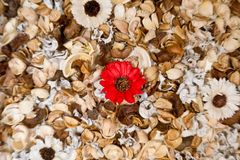Flor de la falta de definición alrededor de la margarita roja con el fondo de las hojas Fotografía de archivo