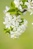 Flor de la flor blanca de la cereza salvaje en primavera Imágenes de archivo libres de regalías